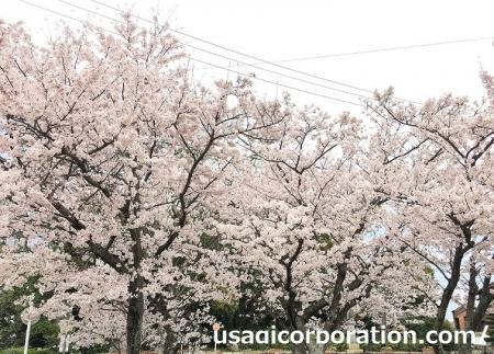 2017 0409 桜