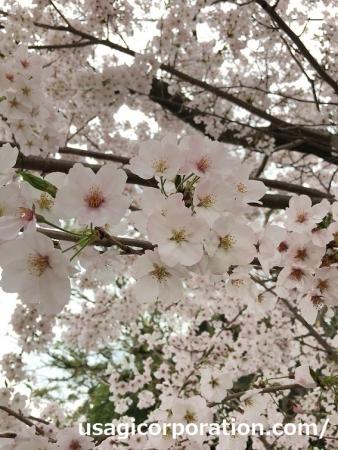 2017 0409 桜3