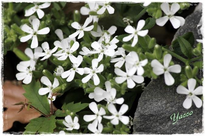 白いお花たち