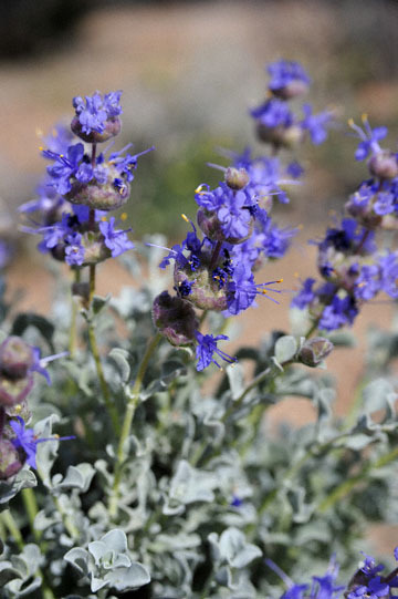 blog 12 395S near Olanch, Sage Flats Drive, Desert Sage (Salvia dorrii), CA_DSC2537-4.6.16.(2).jpg