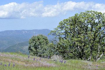 blog 27 130E Mt. Hamilton to Patterson, Lupine, Gilia & Oak_DSC6286-4.13.16.(2).jpg